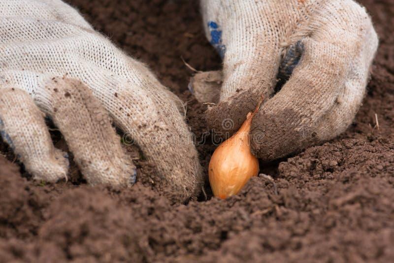 Manos en los guantes que plantan la cebolla, primer imágenes de archivo libres de regalías