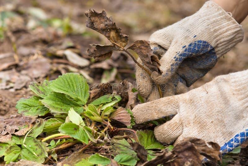 Manos en los guantes que quitan las hojas viejas de la fresa fotos de archivo libres de regalías