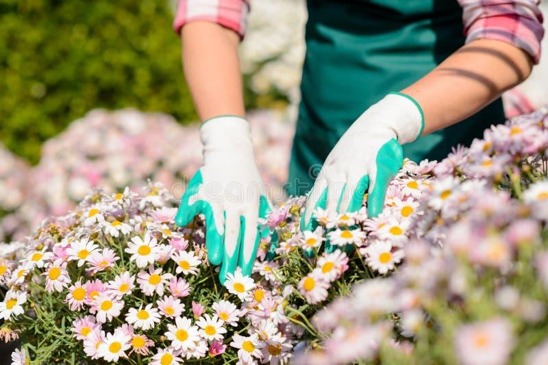 Manos en macizo de flores de la margarita del tacto de los guantes que cultiva un huerto imágenes de archivo libres de regalías