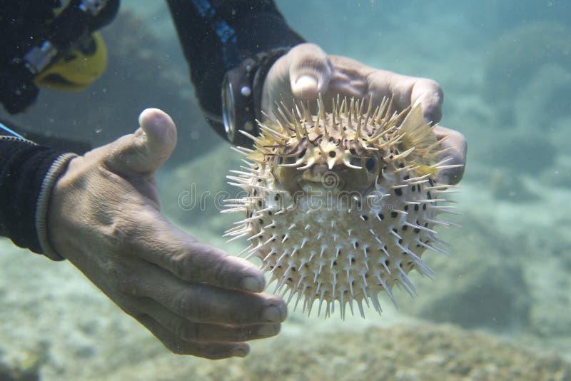 Manos en pescados inflados de la bola imagen de archivo