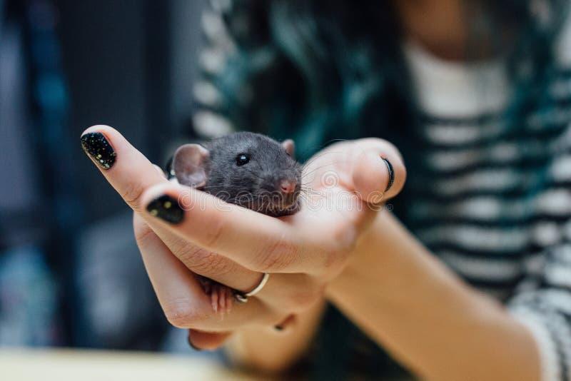 Manos femeninas con la rata rizada divertida linda del perrito en el fondo de madera borroso, primer Animales en casa imagen de archivo
