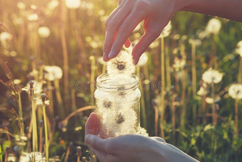 Manos femeninas que sostienen el tarro de cristal y que recogen las flores frágiles frescas blancas mullidas hermosas del diente  foto de archivo libre de regalías