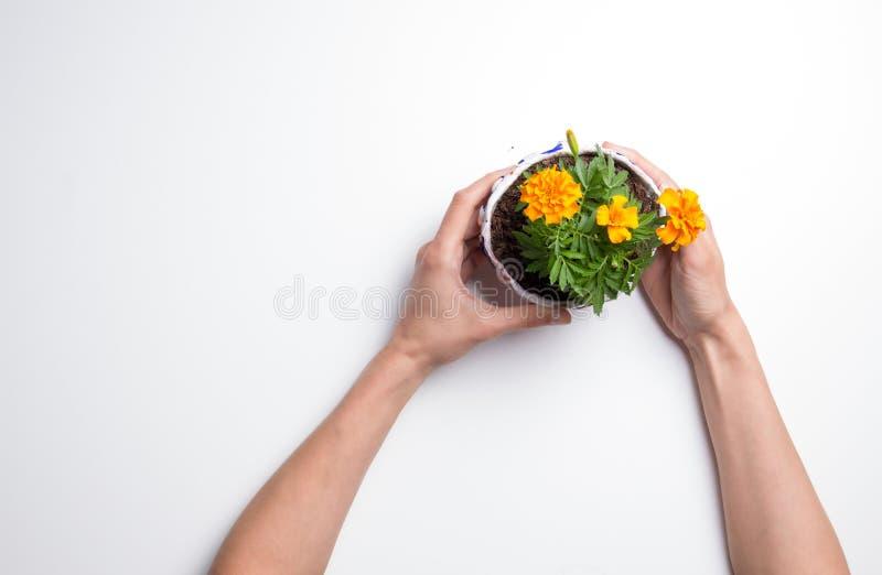 Manos femeninas que sostienen una maceta en el fondo blanco imágenes de archivo libres de regalías