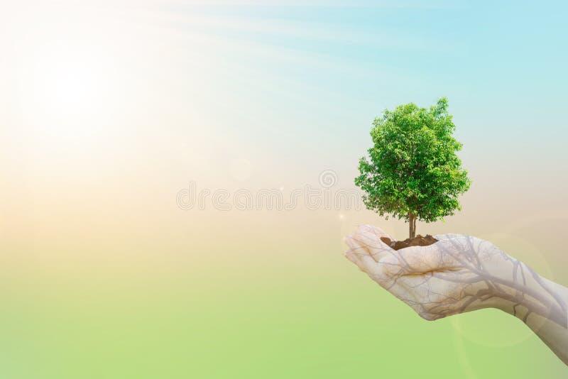 Manos humanas del concepto de la ecología de la exposición doble que sostienen el árbol grande de la planta imágenes de archivo libres de regalías
