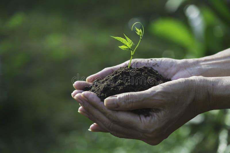 Manos humanas que sostienen la pequeña planta verde para el concepto de la vida y de la ecología fotografía de archivo libre de regalías