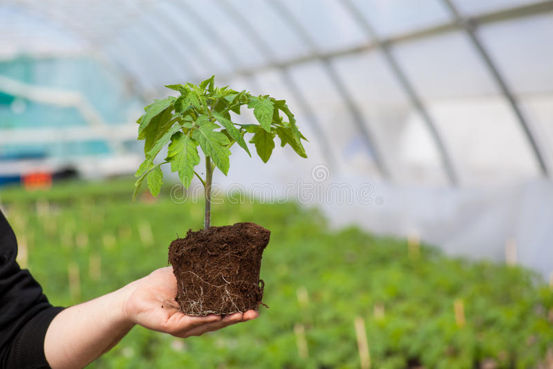 Manos humanas que sostienen la plántula con el suelo sobre fondo borroso de la naturaleza El almácigo del CSR del día del ambient imagen de archivo libre de regalías