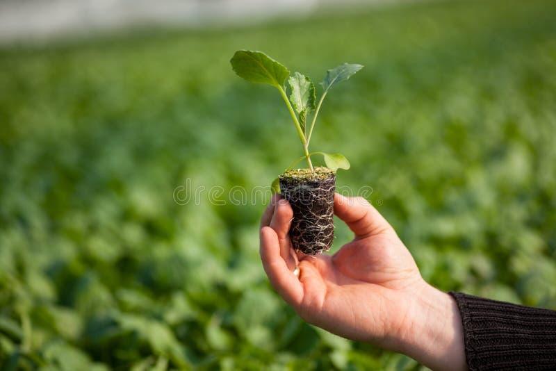 Manos humanas que sostienen la plántula con el suelo sobre fondo borroso de la naturaleza El almácigo del CSR del día del ambient foto de archivo libre de regalías