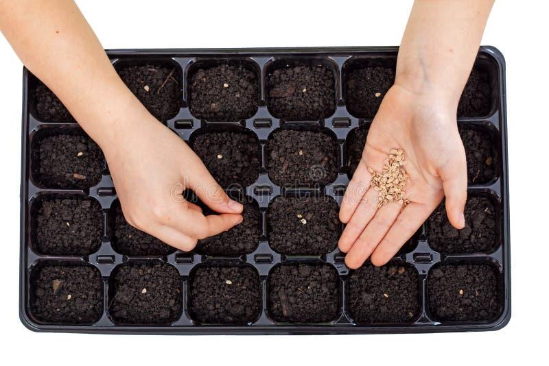 Manos jovenes que siembran las semillas vegetales en bandeja de la germinación imagen de archivo libre de regalías