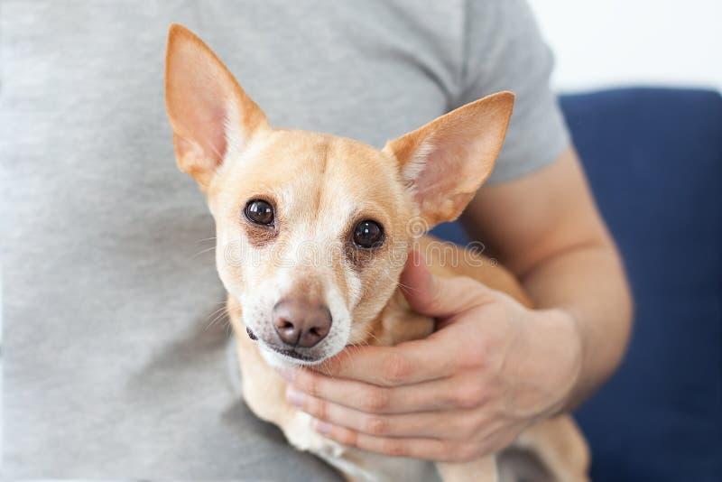 Manos masculinas que frotan ligeramente un perro El dueño ama su perro Amistad entre el hombre y el perro Chihuahua en las manos  fotos de archivo libres de regalías
