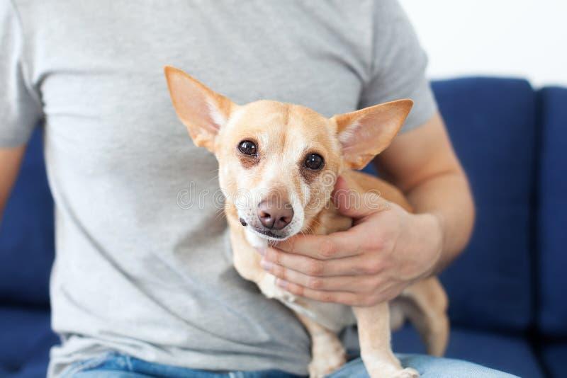Manos masculinas que frotan ligeramente un perro El due?o ama su perro Amistad entre el hombre y el perro Chihuahua en las manos  fotos de archivo libres de regalías