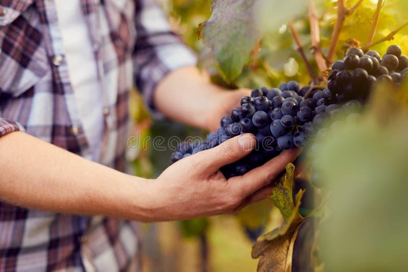 Manos masculinas que sostienen las uvas en la cosecha fotografía de archivo