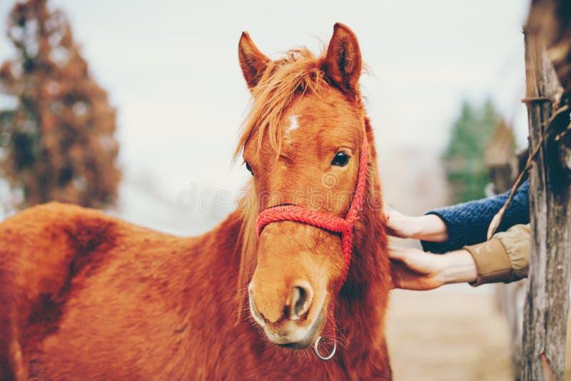Manos que frotan ligeramente un caballo hermoso imagen de archivo libre de regalías