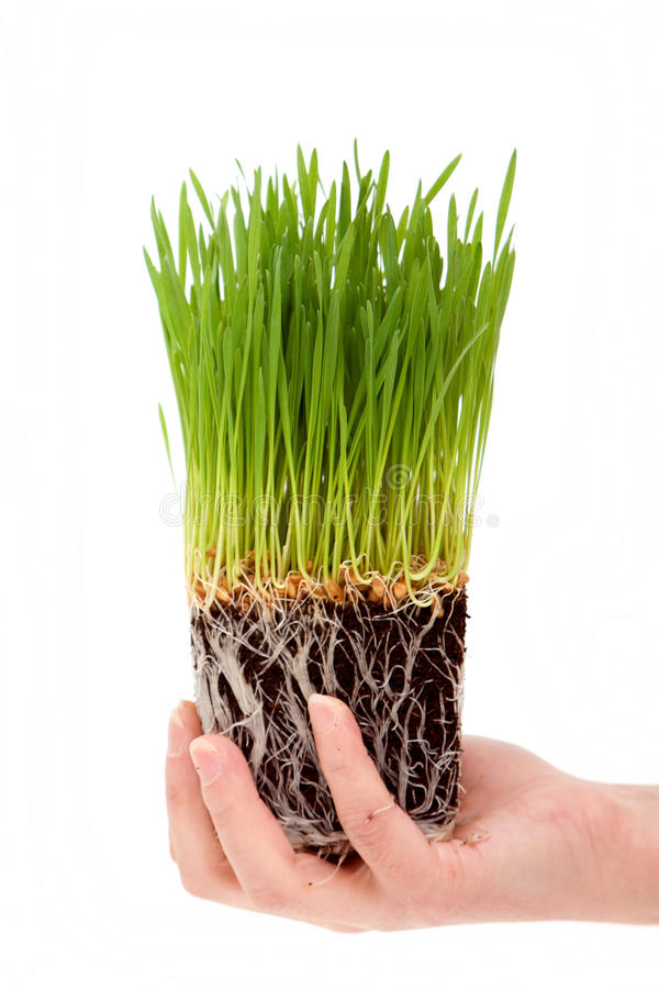 Manos que llevan a cabo wheatgrass orgánicos foto de archivo