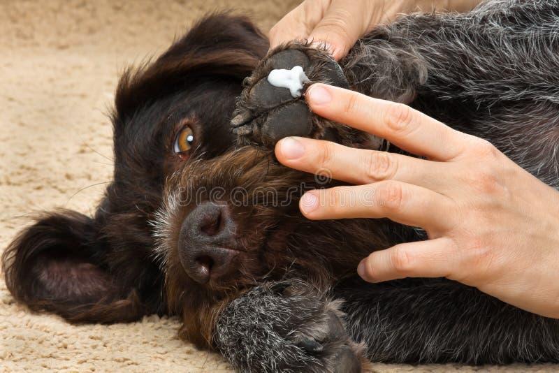 Manos que manchan el ungüento a la pata del perro foto de archivo