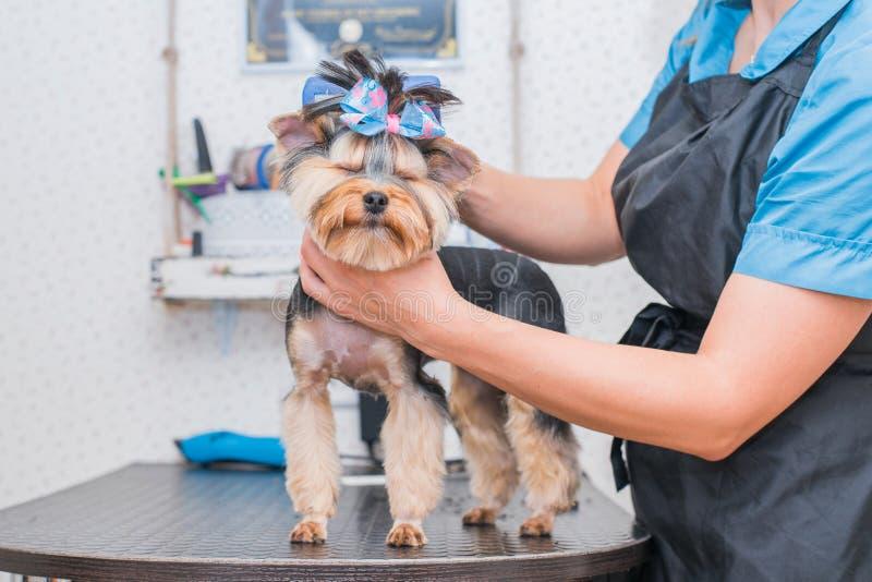 Manos que peinan el terrier de Yorkshire Funcionamiento del Groomer, pequeño perro lindo foto de archivo libre de regalías