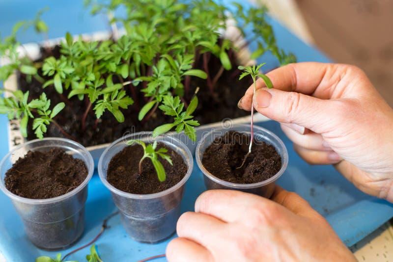 Manos que plantan las plantas y los brotes, almácigo en potes con el cierre de tierra para arriba Concepto cada vez mayor de la p imagen de archivo libre de regalías