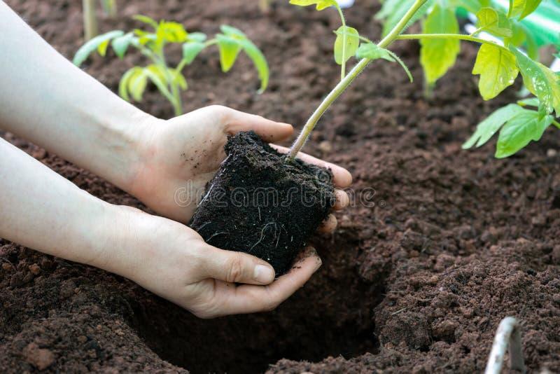 Manos que sostienen el almácigo verde joven de la planta de tomate foto de archivo