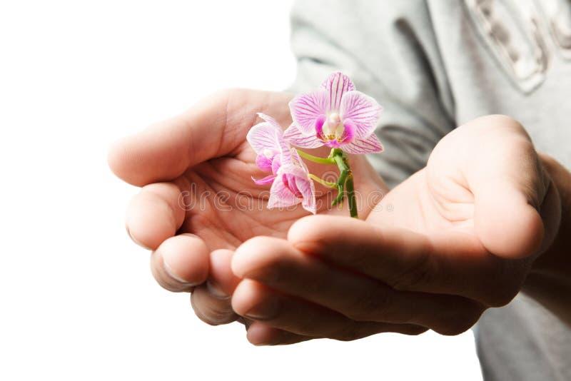 Manos que sostienen la pequeña flor joven, orquídea joven aislada en blanco imágenes de archivo libres de regalías