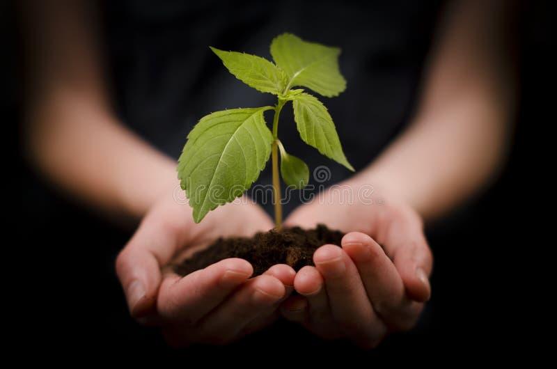 Manos que sostienen la planta del bebé o crecimiento y desarrollo imagen de archivo