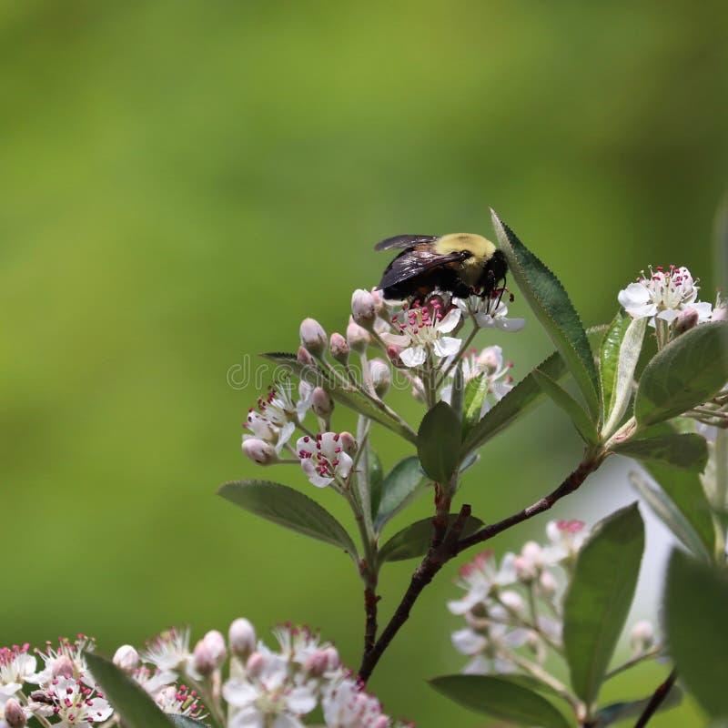 Manosee el Bombus spp de la abeja Recogida del polen fotografía de archivo libre de regalías