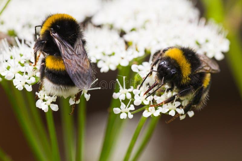 Manosee el néctar de acopio ocupado de las abejas en verano imagen de archivo