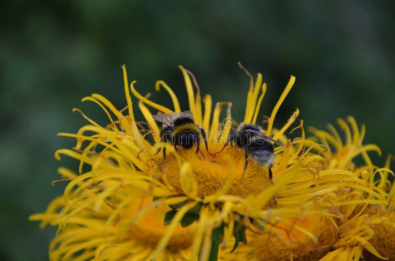 Manosee el perfil de la abeja en la flor verde y p?rpura foto de archivo libre de regalías