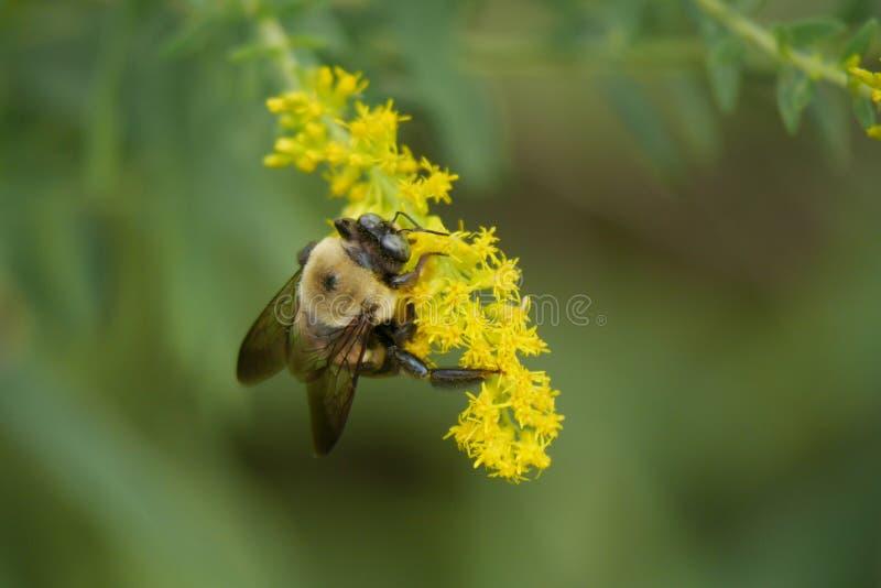 Manosee el polen de los frunces de la abeja en las flores amarillas fotos de archivo libres de regalías