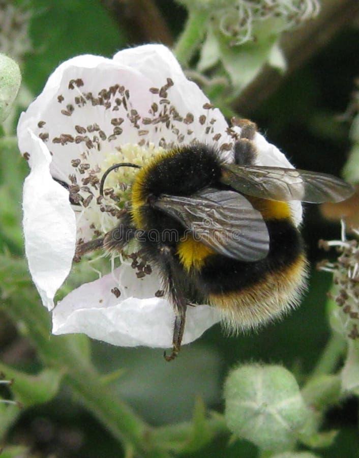 Manosee la abeja foto de archivo