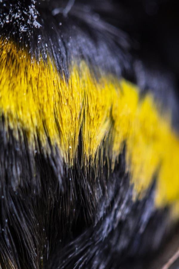 Manosee la abeja cercana para arriba del pelo amarillo y negro en la parte posterior fotografía de archivo libre de regalías