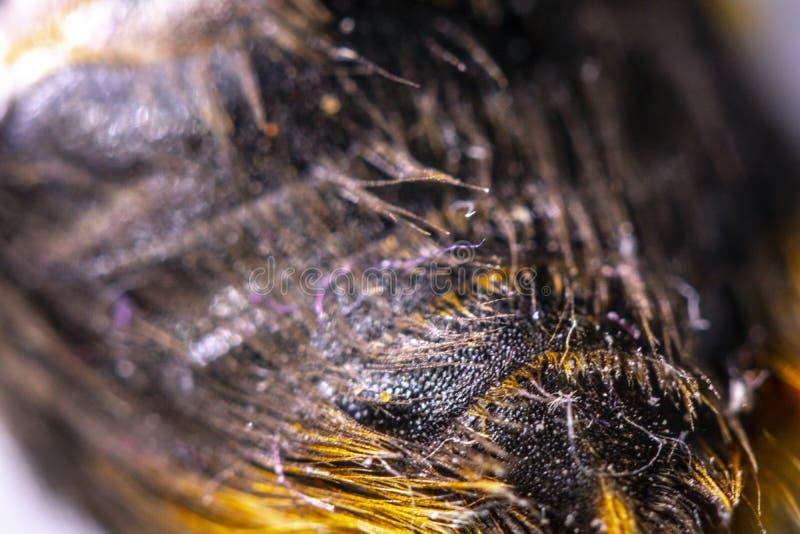 Manosee la abeja cercana para arriba del pelo amarillo y negro en la parte posterior imagenes de archivo