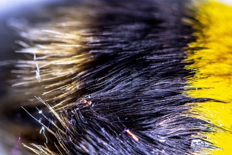 Manosee la abeja cercana para arriba del pelo amarillo y negro en la parte posterior fotos de archivo