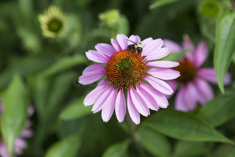Manosee la abeja con las piernas cubiertas en la cría del polen en la flor púrpura pálida del purpurea del echinacea fotos de archivo libres de regalías