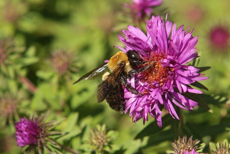 Manosee la abeja en el aster de Nueva Inglaterra imágenes de archivo libres de regalías