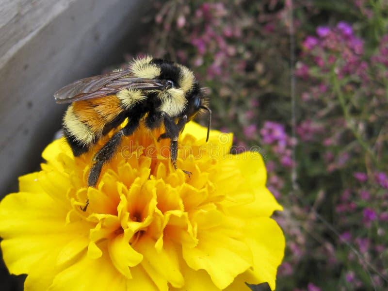Manosee la abeja en la flor amarilla de la maravilla que recoge el polen imagen de archivo libre de regalías