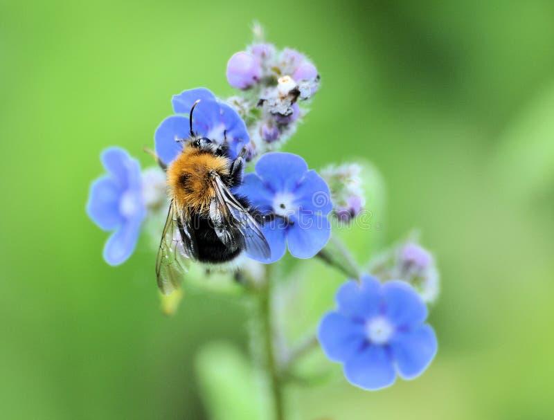 Manosee la abeja en la flor azul foto de archivo libre de regalías