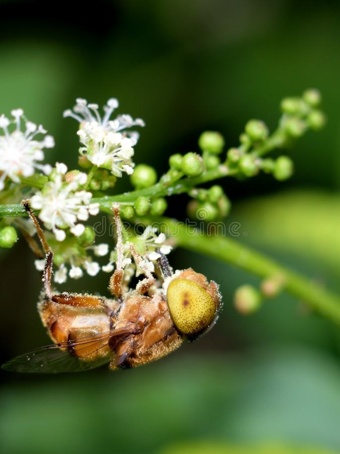 Manosee la abeja en la flor del resorte fotos de archivo libres de regalías