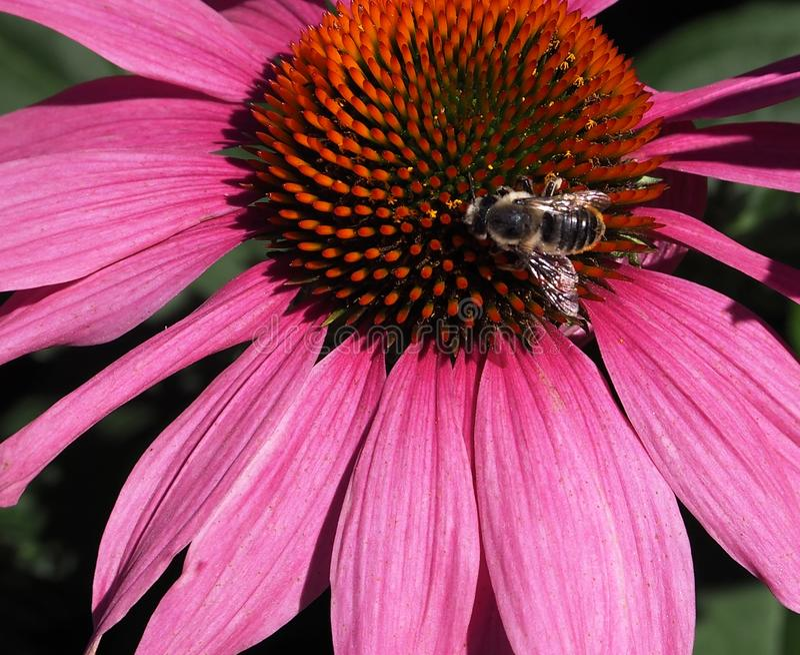 Manosee la abeja en la flor o el Echinacea púrpura Purpuria del cono fotos de archivo libres de regalías