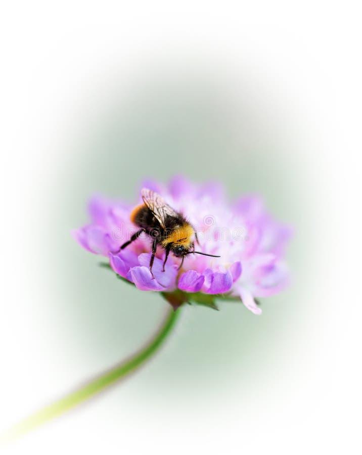 Manosee la abeja en la flor púrpura fotografía de archivo libre de regalías
