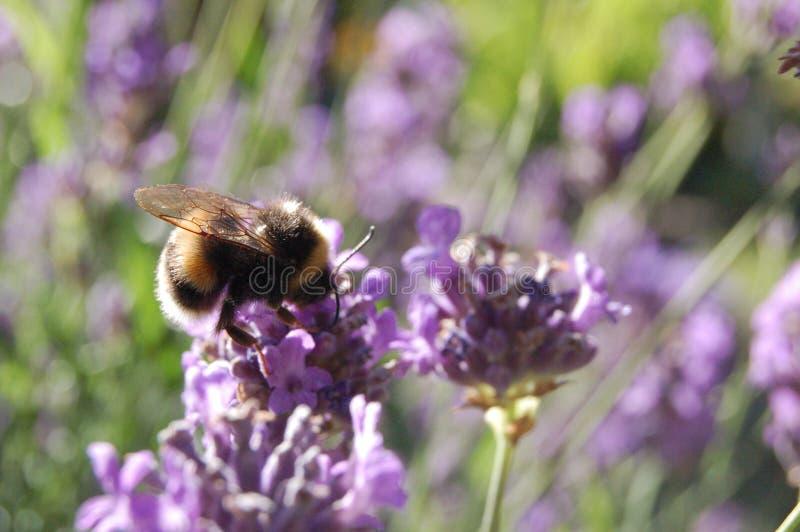 Manosee la abeja en la lavanda fotografía de archivo libre de regalías