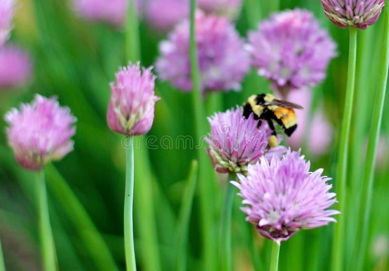 Manosee la abeja en las cebolletas imagen de archivo libre de regalías