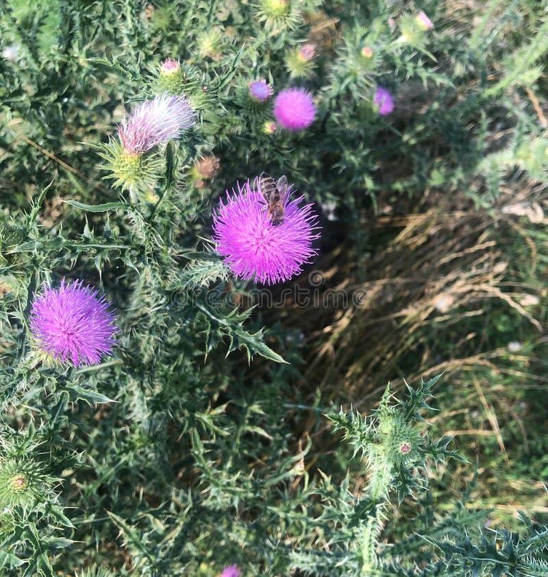 Manosee la abeja en un cardo floreciente p?rpura imagenes de archivo