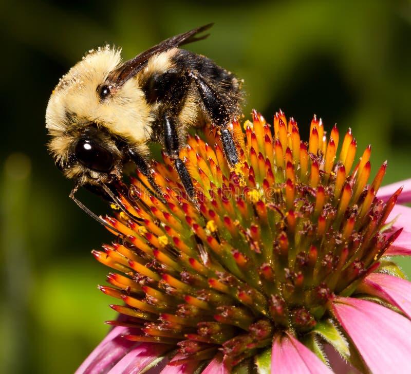 Manosee la abeja en una flor púrpura del cono imagen de archivo libre de regalías