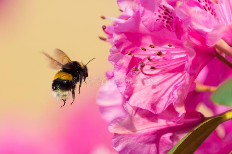 Manosee la abeja en vuelo fotos de archivo libres de regalías