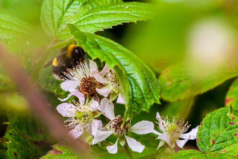 Manosee la abeja que recoge el néctar en un arbusto de zarzamora imágenes de archivo libres de regalías