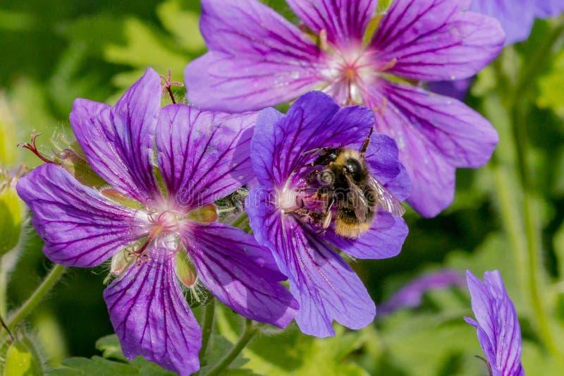 Manosee la abeja que recoge el néctar en una flor púrpura del geranio en un jardín imagenes de archivo