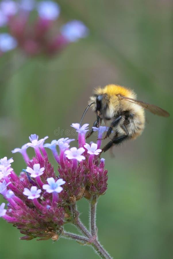Manosee la abeja que recoge el polen imagenes de archivo