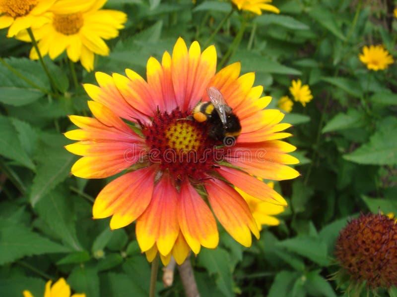 Manosee la abeja que recoge el polen en una flor amarilla del rudbeckia con un fondo borroso suavidad imágenes de archivo libres de regalías
