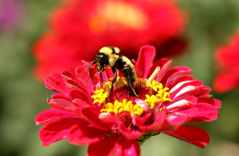 Manosee la abeja que recolecta el néctar foto de archivo
