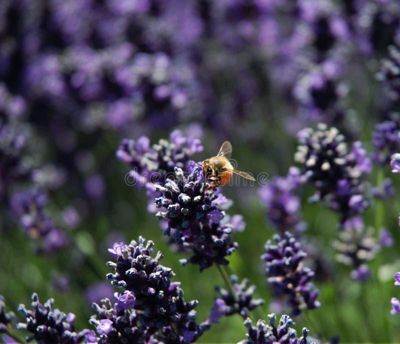 Manosee la abeja que se sienta en la lavanda imagen de archivo libre de regalías