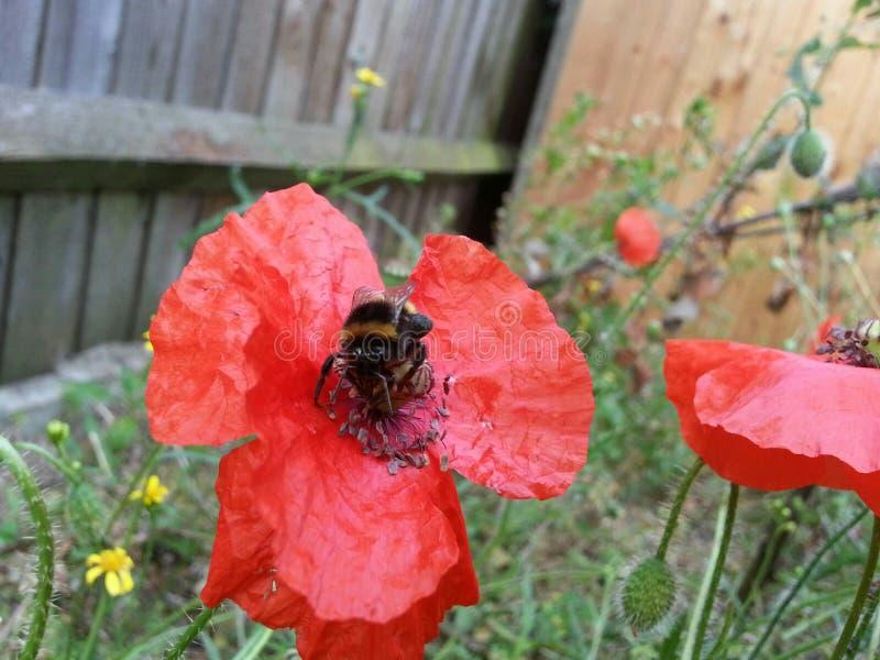 Manosee la abeja que se sienta en una flor roja fotografía de archivo libre de regalías